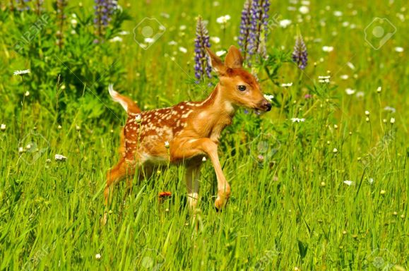 19669092-White-tailed-deer-fawn-with-spots-in-a-field-of-wildflowers-Stock-Photo