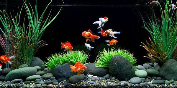 betta-fish